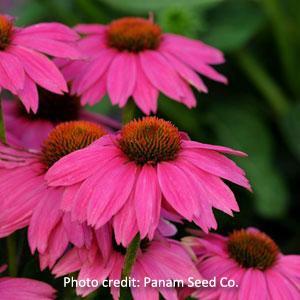 'PowWow Wild Berry' Echinacea