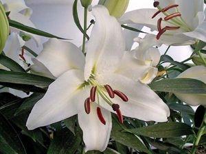 'White Stargazer' Oriental Lily