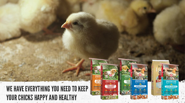 Happy Healthy Chicks