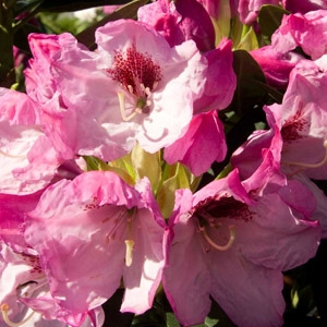 'Southgate® Radiance™' Rhododendron