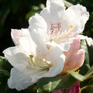 'Southgate™ Divine®' Rhododendron