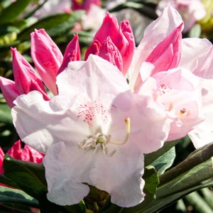 'Southgate™ Grace™' Rhododendron