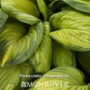 'Stained Glass Plantain Lily' Hosta