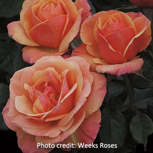 Downtown Abbey Rose Collection 'Anna's Promise®' Grandiflora Garden Rose