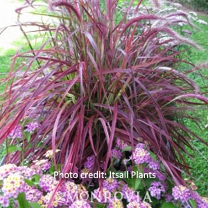 'Fireworks' Purple Fountain Grass