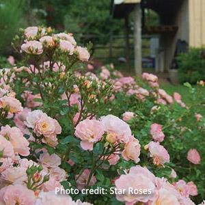 Peach Drift® Roses