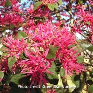 Mississippi Red Loropetalum