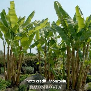'Cold Hardy Banana Tree' Musa Basjoo