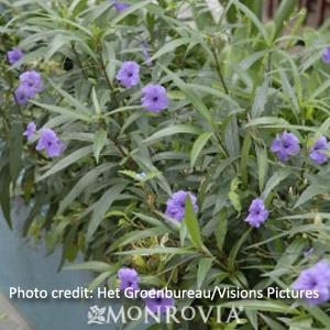 'Mexican Petunia' Ruellia