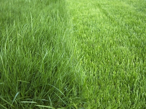Bonide Grass Seed