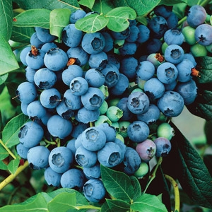 'Bountiful Blue' Blueberry