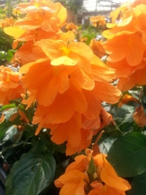 'Apricot Sun'Crossandra