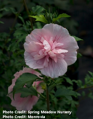 'Pink Chiffon' Rose of Sharon