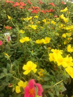 Purslane Big Bloom