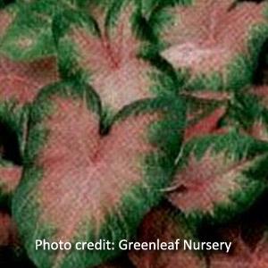 'Pink Beauty' Caladium