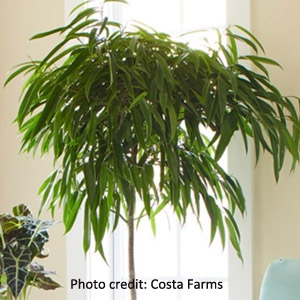 'Weeping Fig' Ficus benjamina