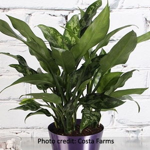 'Chinese Evergreen' Aglaonema