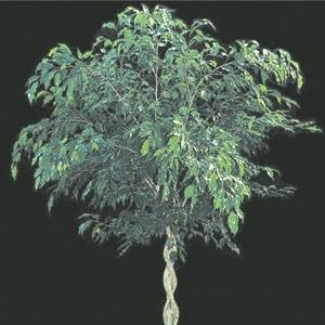 'Ficus' Tree Ficus nitida