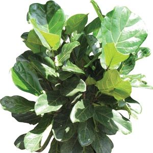 'Fiddle Leaf Fig' Ficus lyrata