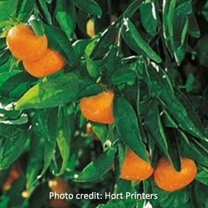Frost Owari Orange