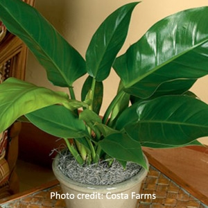 Philodendron - Several Varieties to Choose From