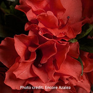 'Autumn Embers'™ Encore® Azalea