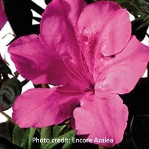 'Autumn Sangria'™ Encore® Azalea