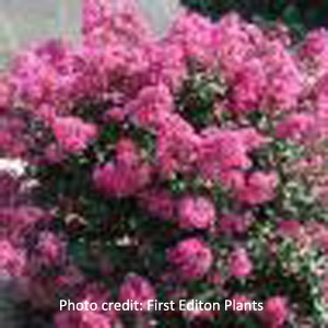 'Plum Magic' Crape Myrtle by First® Edition Plants