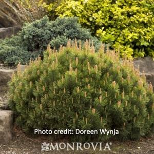 'Dwarf Mugo' Pine