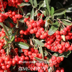 'Victory' Pyracantha