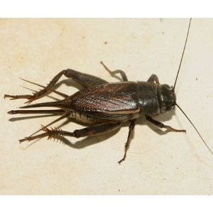 Live Crickets 25-30
