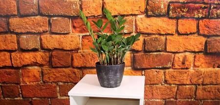 'ZZ Plant' Zamioculcas