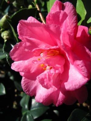 'Shishi Gashira' Camellia