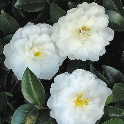 'White Dove Mine-No-Yuki' Camellia