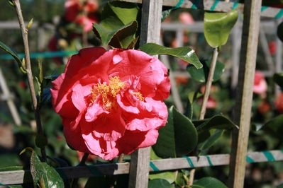 'Kramer's Supreme' Camellia