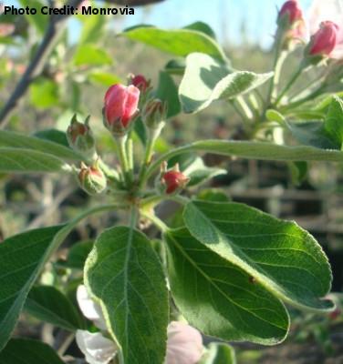 'Anna Apple' Tree