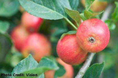 'Gala Apple' Tree