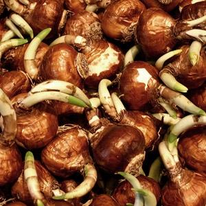 Netherland Bulb® Assorted Spring Bulbs