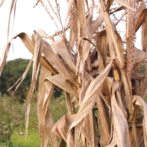 Decorative Corn Stalks