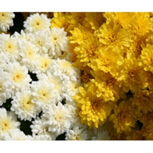 Locally Grown Mums and Asters
