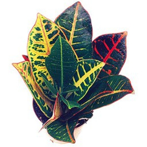 'Petra' Croton
