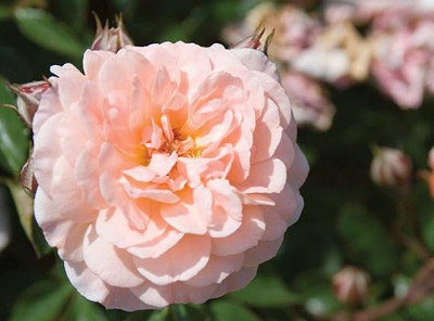 'Apricot' Drift Rose