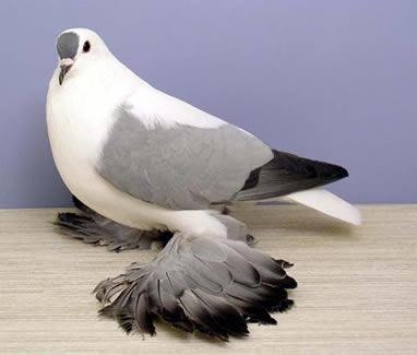 16% Pigeon Breeder