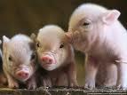16% Swine Developer