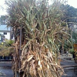Corn Stalks