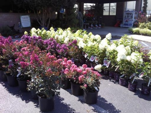 Flowering Shrubs & Trees