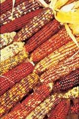 Indian Corn 1/4#