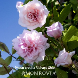 'Cecile Brunner' Climbing Rose