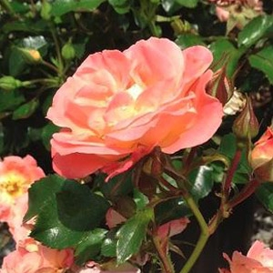 Drift® Roses - All Colors in Stock