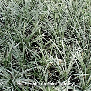 'Variegated Mondo' Groundcover Grass
